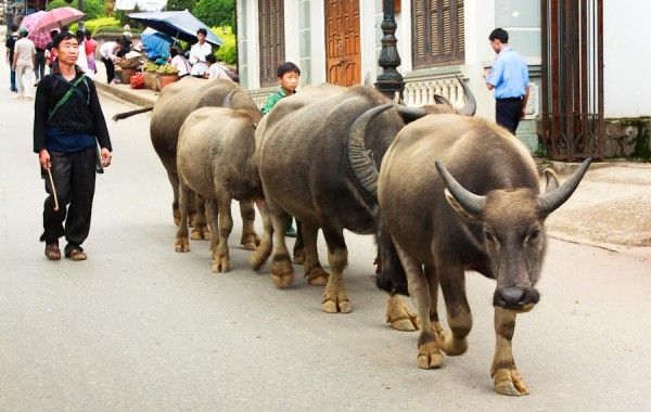 Water Buffalo in Sapa, Vietnam