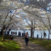 Thumbnail image for Washington D.C. Hosts its Annual Cherry Blossom Festival