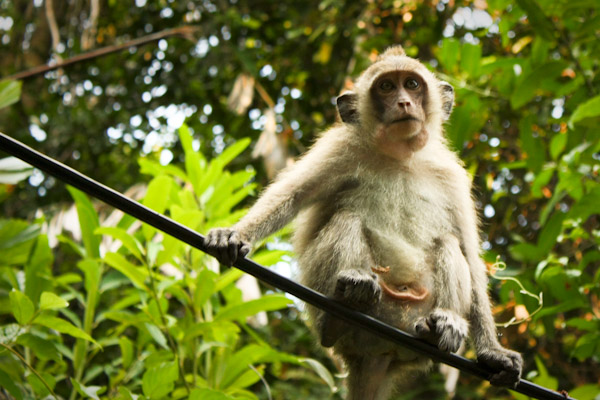Post image for First Monkey Sighting: Ko Chang, Thailand