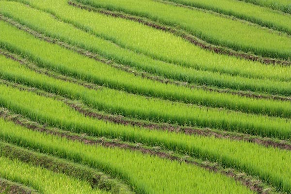 The Amazing Rice Fields of Sapa