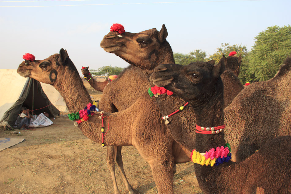 Photos from the Pushkar Camel Fair, Part 2