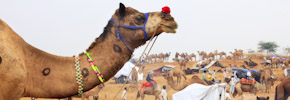Photo of the Week: First Day of the Camel Fair in Pushkar